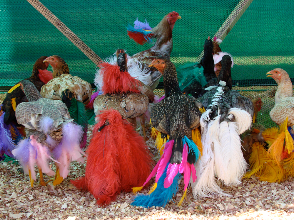 gala-chickens2